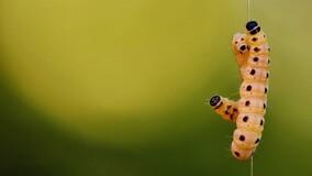 Власти Сочи предложили УО бороться с личинками американской бабочки